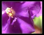African Violet in Macro